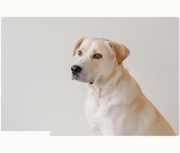 Photo of Winston, a Great Pyrenees, German Shepherd Dog, Australian Shepherd, and Mixed mix in Texas, USA