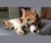 Photo of Mason, a Shiba Inu  in Ohio, USA