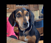 Photo of Millie, a Beagle, Mountain Cur, Boykin Spaniel, and Rat Terrier mix in St. Louis, Missouri, USA