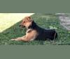 Photo of Shainee, a German Shepherd Dog, Australian Cattle Dog, and Mixed mix in Long Beach, California, USA