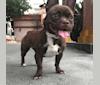 Photo of Kiki, a French Bulldog, Chihuahua, Pekingese, and Mixed mix in Oman