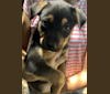 """Photo of Sterling Malory """"Archer"""", an Australian Cattle Dog, American Pit Bull Terrier, German Shepherd Dog, and Mixed mix in Arkansas, USA"""