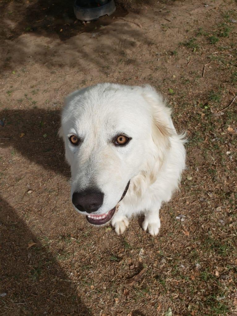Photo of Aragorn, a Maremma Sheepdog  in Washington, USA