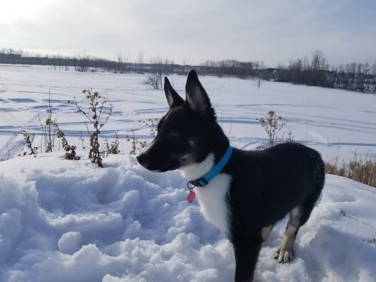 Photo of Nova, a Siberian Husky, German Shepherd Dog, Alaskan Malamute, Rottweiler, and Mixed mix in Alberta, Canada