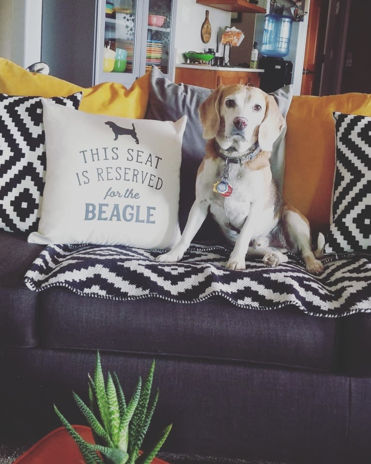 Photo of Chester, a Beagle  in Laughlin AFB, TX, USA