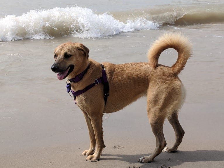 Photo of Willow, a Rottweiler, Dachshund, Chow Chow, and Boxer mix