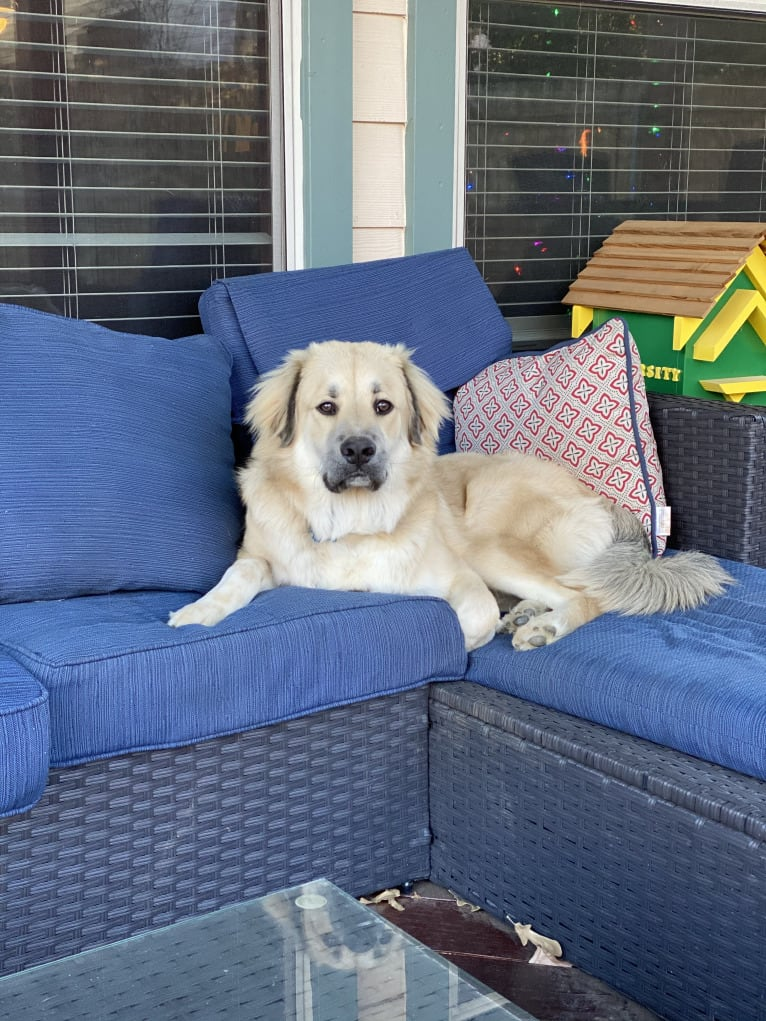 Photo of Waylon, a Great Pyrenees, Chow Chow, Treeing Walker Coonhound, and Mixed mix in Granbury, Texas, USA