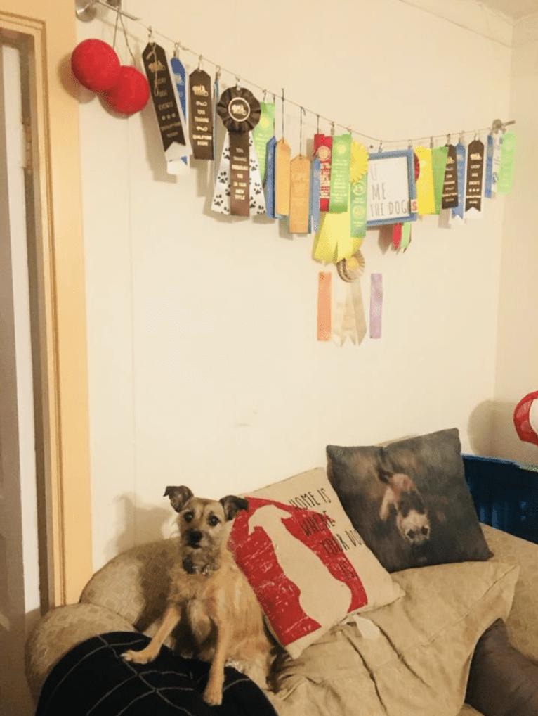 Photo of Cherry, a Chihuahua and Miniature Schnauzer mix in Poteau, Oklahoma, USA