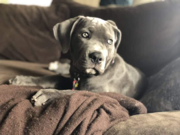 Photo of Hana, a Cane Corso  in Stanwood, Washington, USA