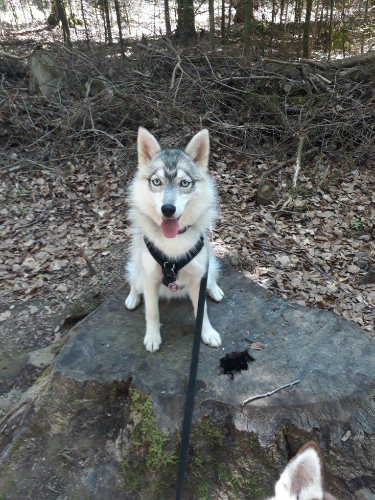 Photo of Delhia, a Siberian Husky, Pomeranian, and Alaskan Malamute mix