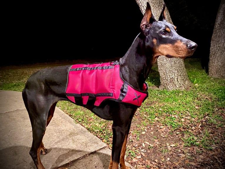Photo of Lexie, a Doberman Pinscher  in Springtown, TX, USA