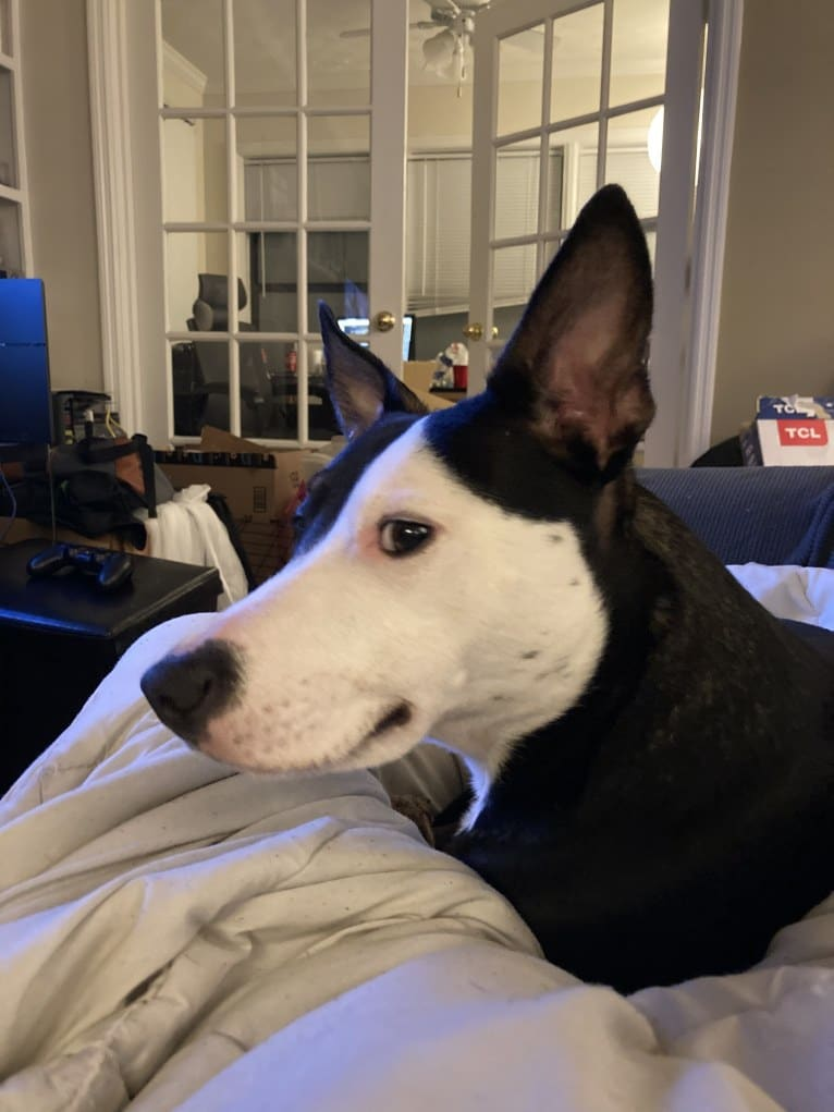 Photo of Kubo, an Australian Cattle Dog, American Pit Bull Terrier, Bulldog, and Mixed mix in Atlanta, Georgia, USA