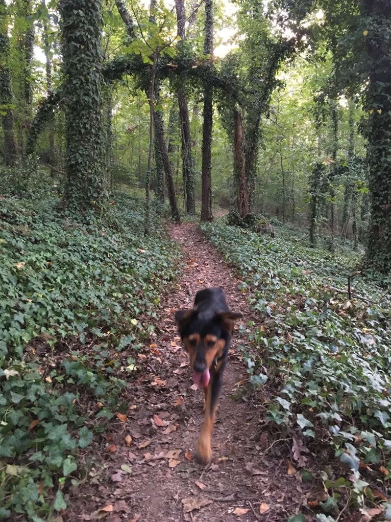 Photo of Hazel, a Chow Chow, Cocker Spaniel, Australian Shepherd, American Pit Bull Terrier, and Mixed mix in Little Rock, Arkansas, USA