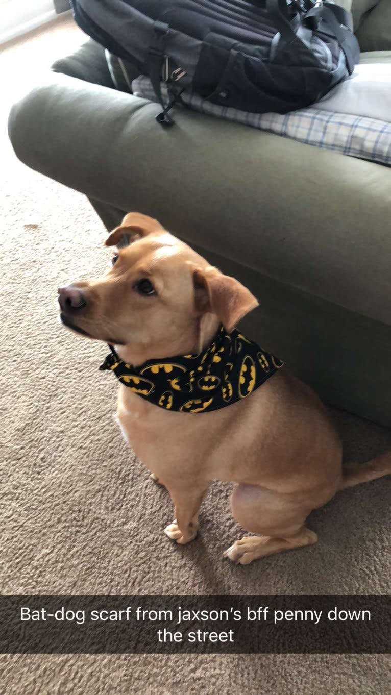Photo of Jaxson, a Weimaraner, German Shepherd Dog, and Chow Chow mix in Atlanta, Georgia, USA