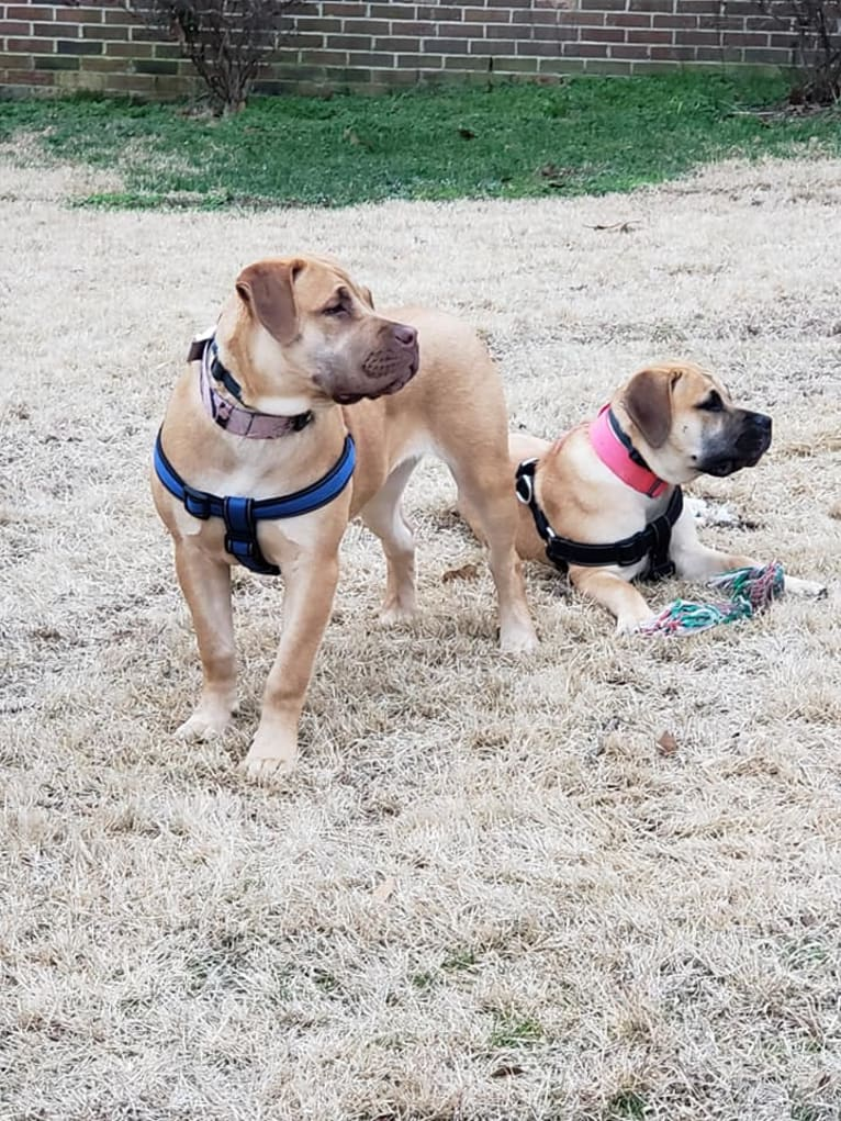 Photo of ISABELLA, a Boerboel  in Fayetteville, NC, USA
