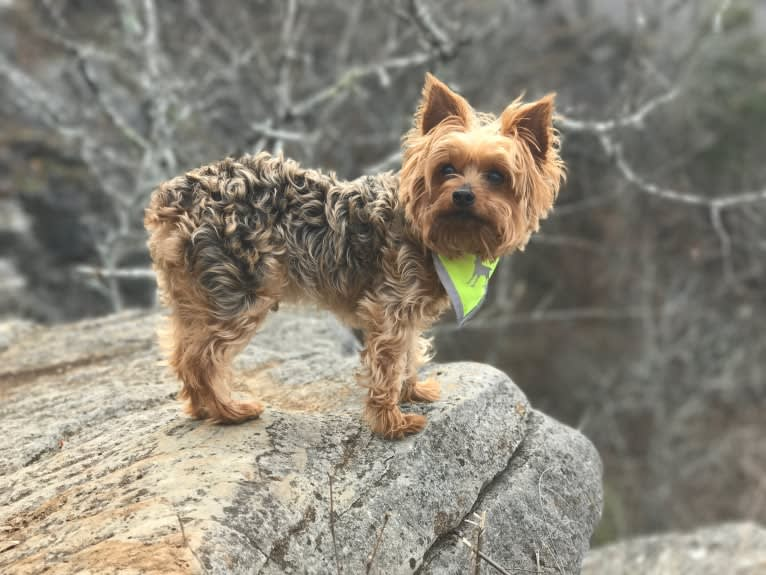 Photo of Ross, a Yorkshire Terrier  in Birmingham, Alabama, USA