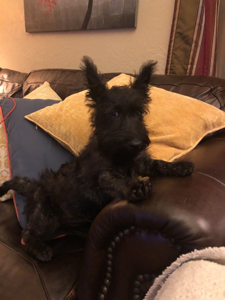 Photo of Tucker, a Scottish Terrier  in Oklahoma City, Oklahoma, USA