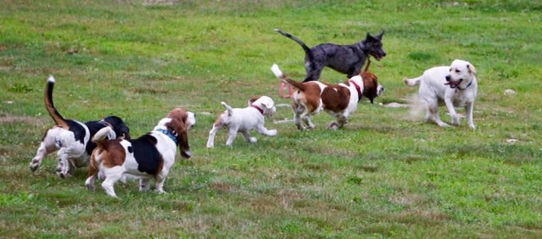 Photo of Daisy, a Labrador Retriever, Australian Shepherd, American Pit Bull Terrier, Siberian Husky, and American Bulldog mix in Georgia