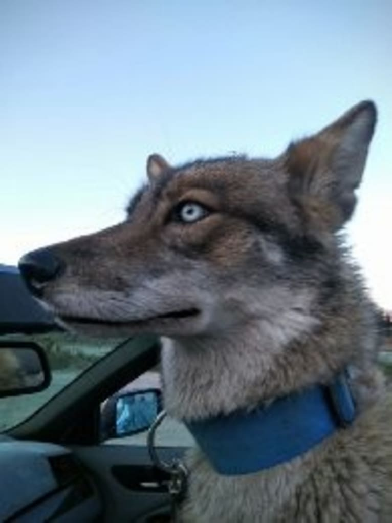 Photo of Sneaky, a Siberian Husky, Coyote, and Mixed mix in Cathedral City, California, USA