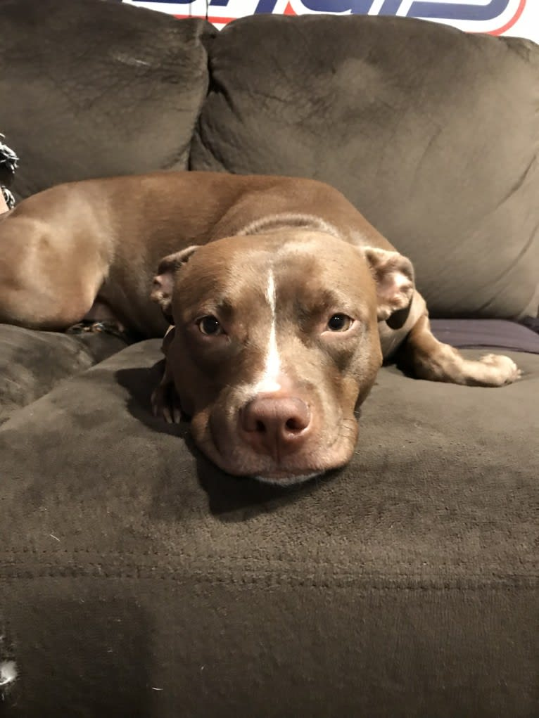 Photo of Delilah, an American Pit Bull Terrier and American Staffordshire Terrier mix in Maryland, USA