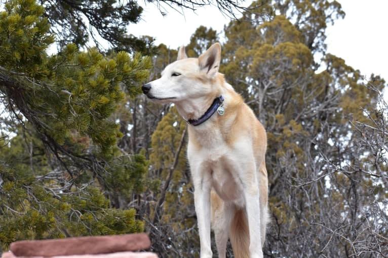 Photo of Roco, an Alaskan-type Husky  in Taylorsville, Utah, USA