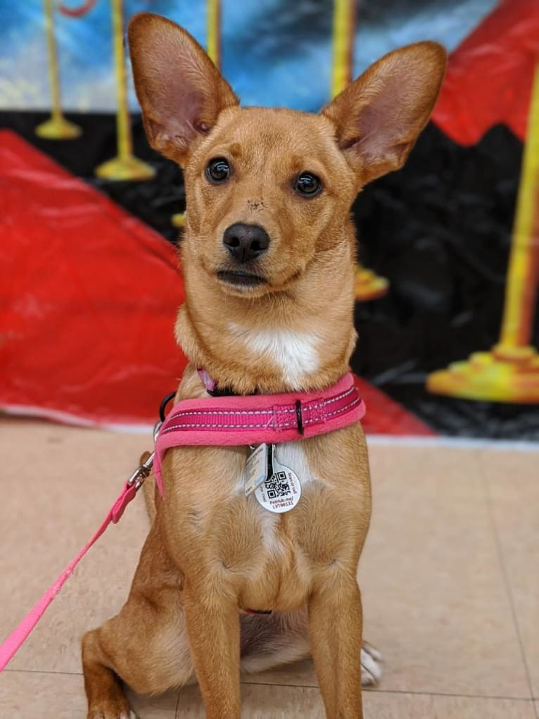 Photo of Jenna, a Chihuahua, Australian Cattle Dog, Miniature Schnauzer, and Mixed mix in San Antonio Pets Alive, Texas 151 Access Road, San Antonio, TX, USA