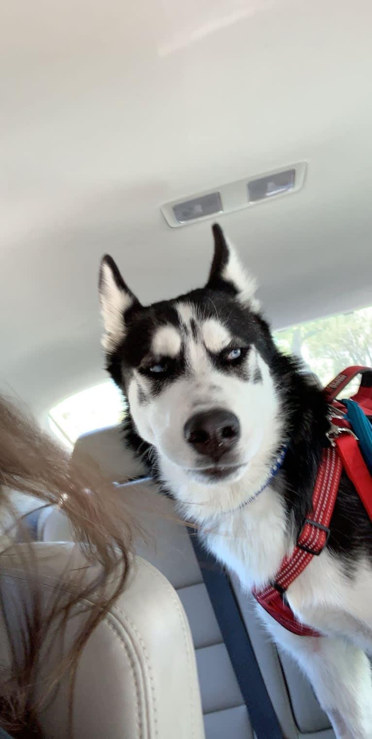 Photo of Mercury, a Siberian Husky, Alaskan Malamute, and German Shepherd Dog mix in Tucson, Arizona, USA