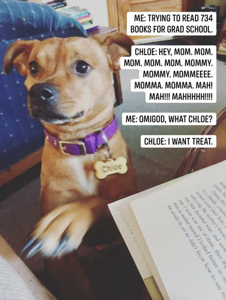 Photo of Chloe, an American Pit Bull Terrier, American Staffordshire Terrier, Pomeranian, Australian Cattle Dog, Japanese Chin, and Mixed mix in Miami, FL, USA