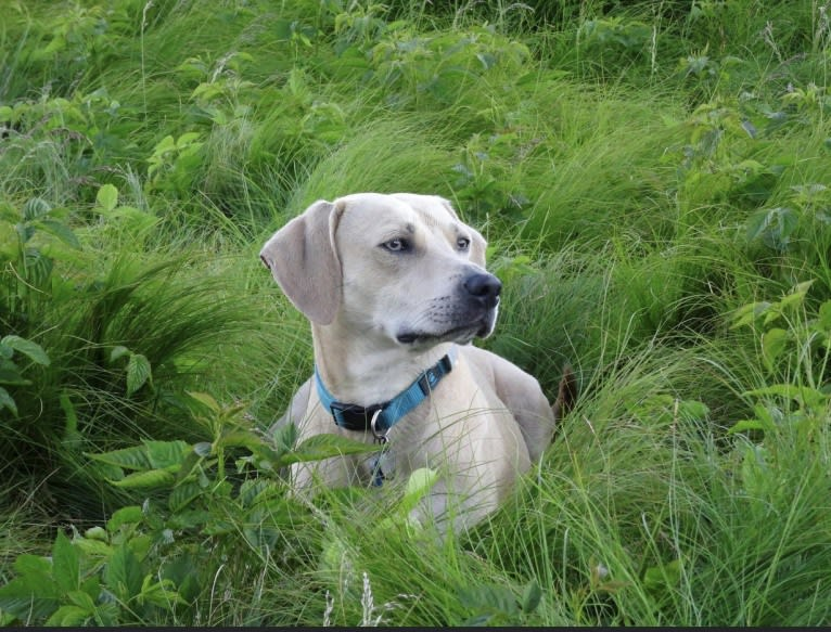 Photo of Xena, a Weimaraner, American Pit Bull Terrier, and Golden Retriever mix in Clarksville, Tennessee, USA