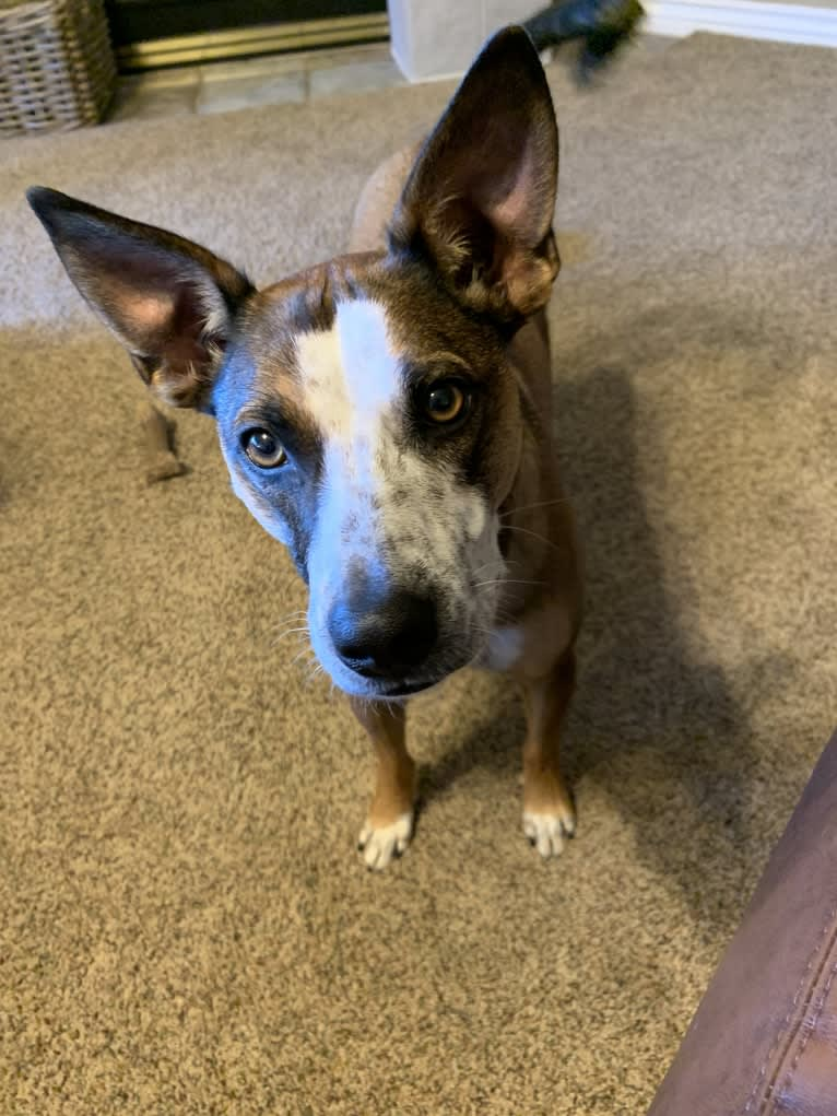 Photo of Mayzee, a Miniature/MAS-type Australian Shepherd, Australian Cattle Dog, Boston Terrier, Russell-type Terrier, and Mixed mix in New Mexico, USA