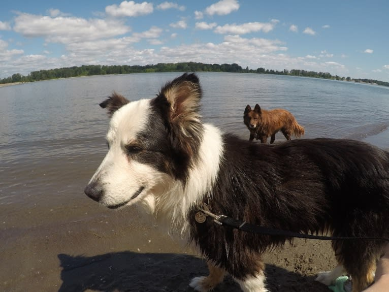 Photo of Marvin, an Australian Shepherd, Australian Cattle Dog, Border Collie, and Mixed mix in Portland, Oregon, USA
