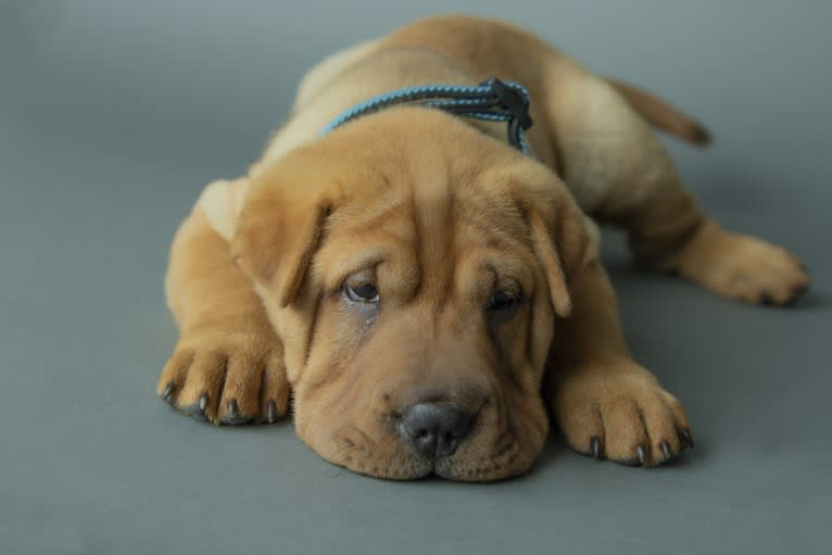 Photo of Biggie Small, a Chinese Shar-Pei  in Texas City, TX, USA