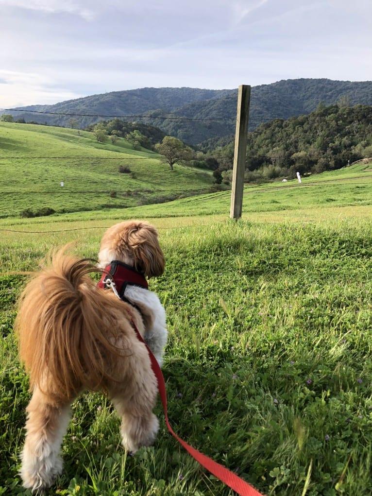 Photo of Buster, a Shih Tzu and Pekingese mix in San Jose, California, USA