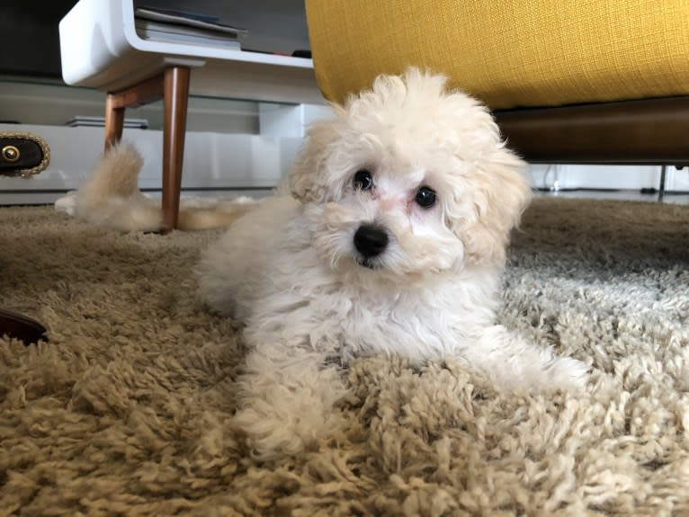Photo of GiGi L'Amour, a Poodle (Small)  in Takoma Park, MD, USA