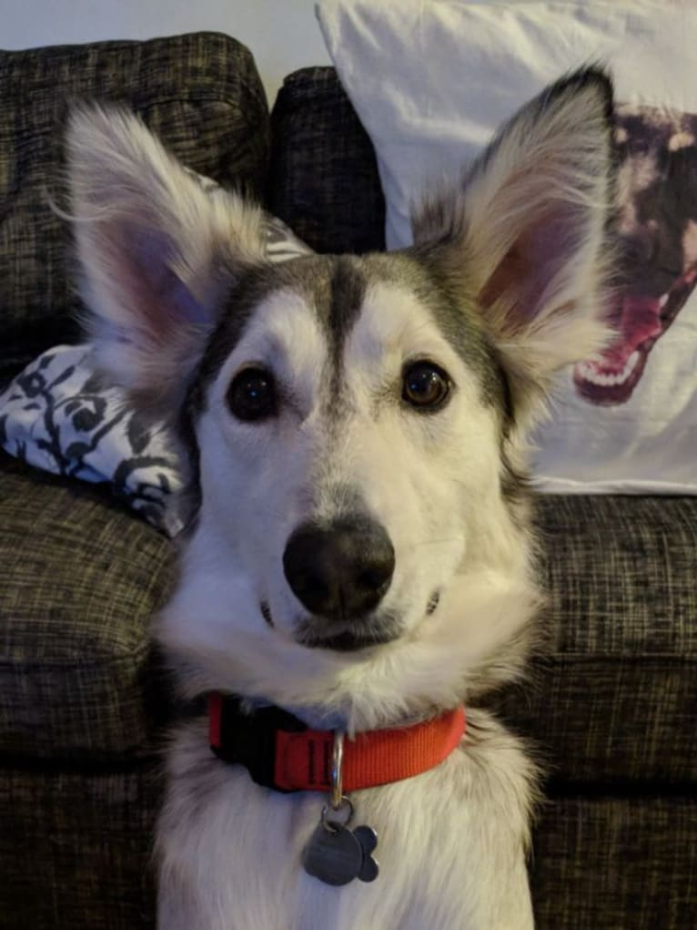 Photo of Harvey, a Middle Eastern Village Dog  in Fujairah, Fujairah, United Arab Emirates