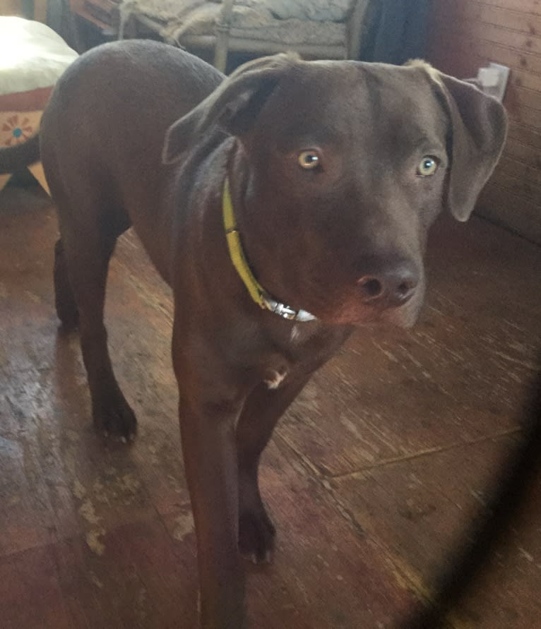 Photo of Mosey, an American Pit Bull Terrier, Labrador Retriever, and American Staffordshire Terrier mix in Albuquerque, New Mexico, USA
