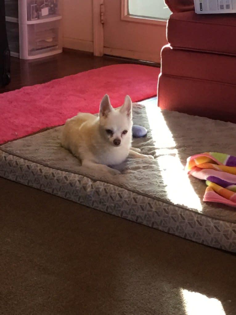 Photo of Jojo, a Chihuahua, Pomeranian, and Mixed mix in Colonial Beach, Virginia, USA