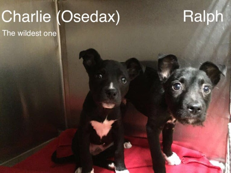 Photo of Charlie, an American Pit Bull Terrier, Chow Chow, and American Staffordshire Terrier mix in KCMO, Missouri, USA