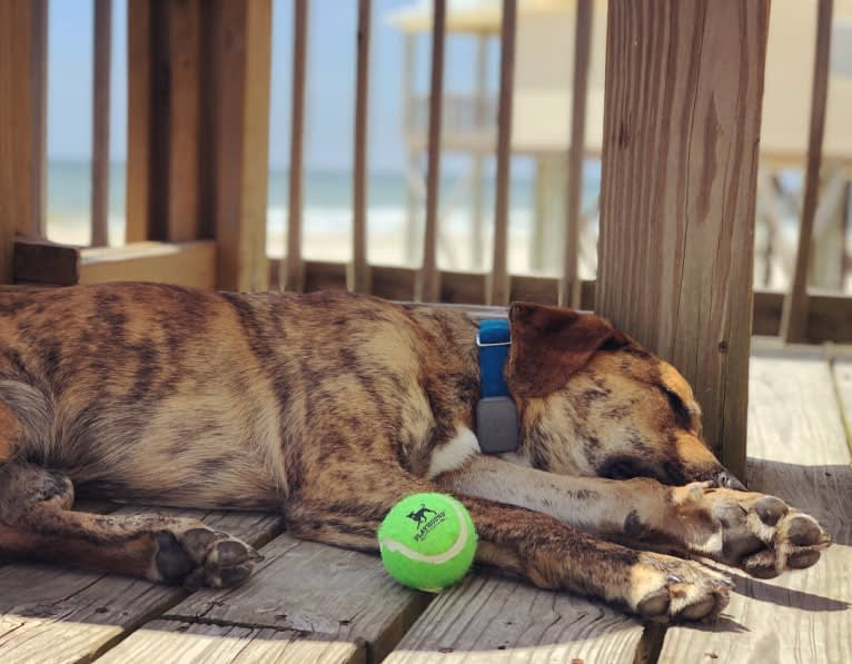 Photo of Baldwin, a Labrador Retriever, American Pit Bull Terrier, and Mixed mix in Navarre, FL, USA