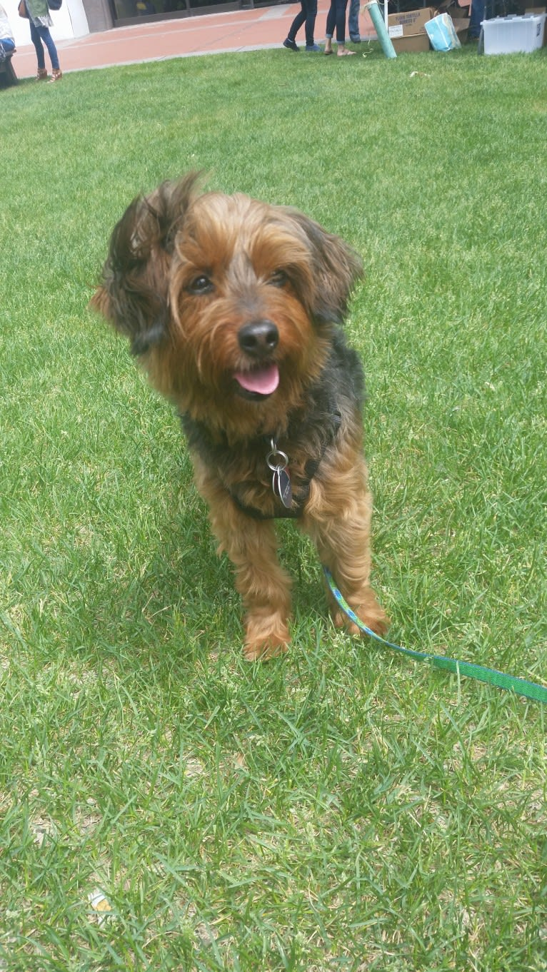 Photo of Jameson, a Yorkipoo  in St Paul, Minnesota, USA