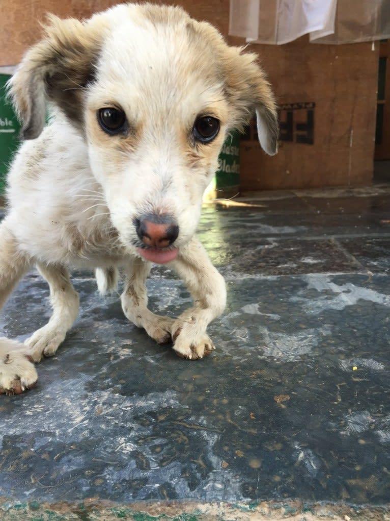 Photo of Ricky Lee, a South Asian Village Dog  in Daramasthala, Karnataka, India
