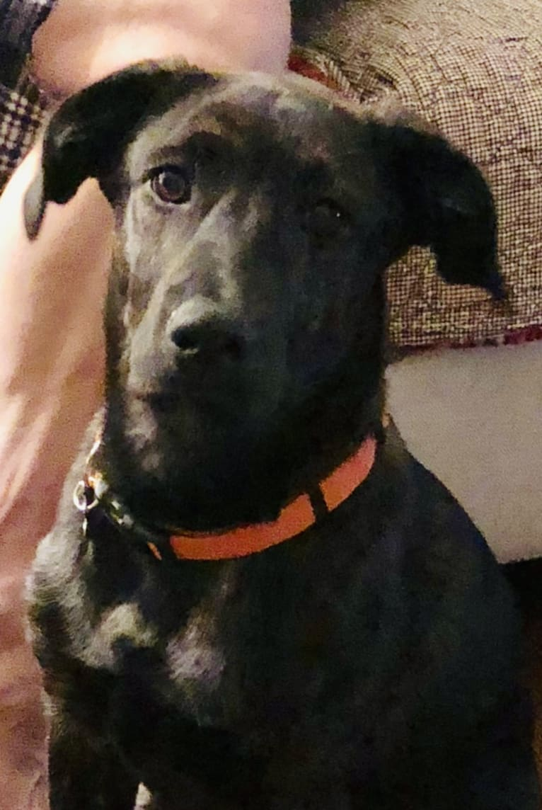 Photo of Lucky, an American Pit Bull Terrier, Labrador Retriever, Rat Terrier, German Shepherd Dog, Beagle, and Chow Chow mix in Canton, Michigan, USA