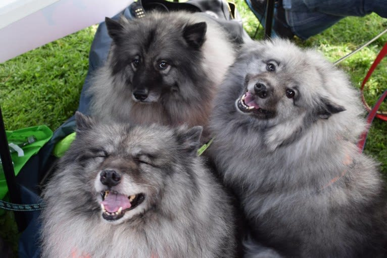 Photo of Solomon, a Keeshond  in Groton, New York, USA