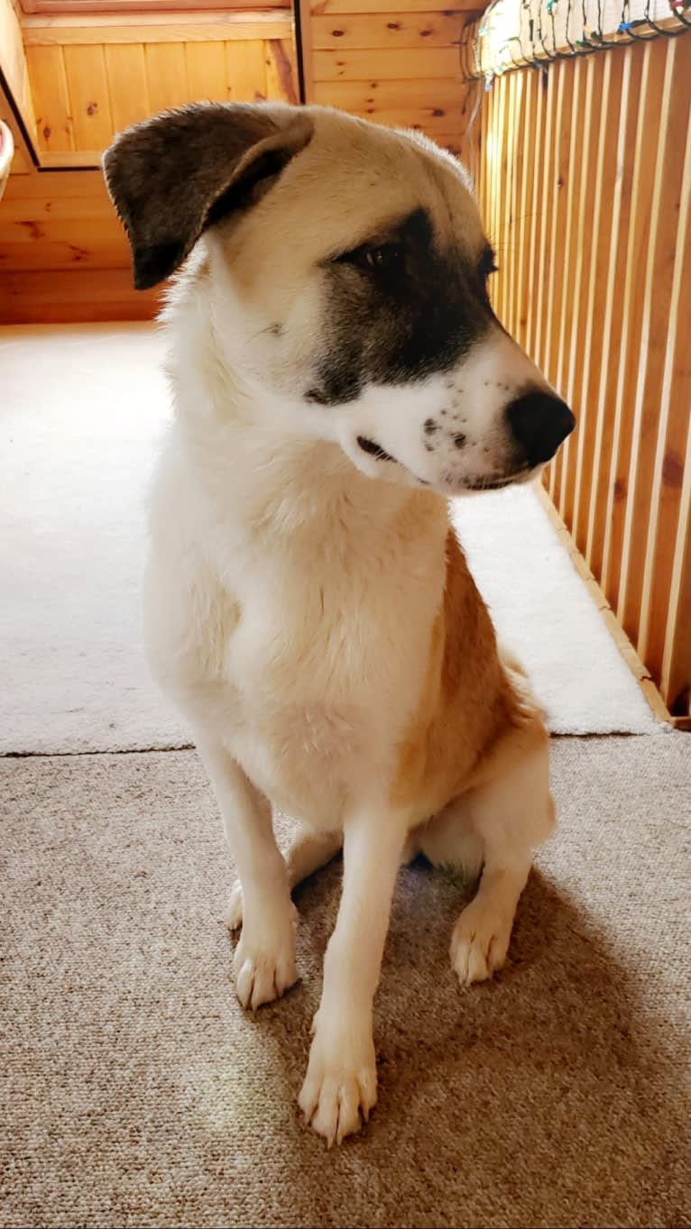 Photo of Amos, a Great Pyrenees, German Shepherd Dog, American Pit Bull Terrier, and Bullmastiff mix in Texas, USA