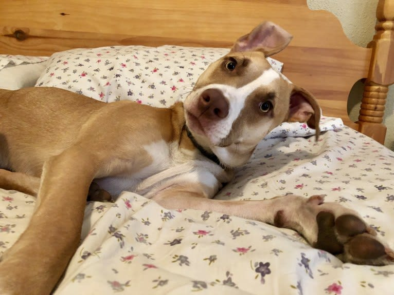 Photo of Reynold, an American Pit Bull Terrier and American Staffordshire Terrier mix in Pittsburgh, Pennsylvania, USA