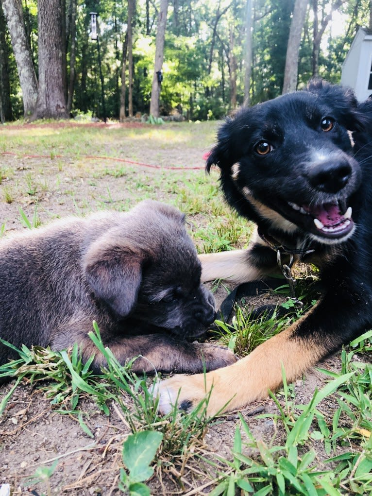 Photo of Sierra, a Border Collie, Australian Cattle Dog, Chow Chow, and Mixed mix in Mississippi, USA