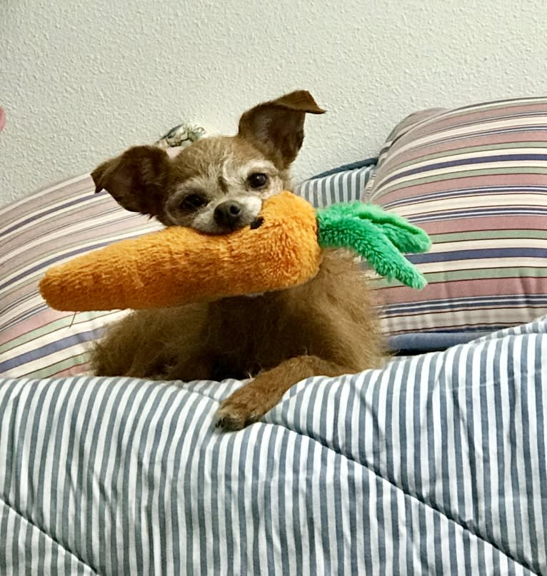 Photo of Tippy, a Chihuahua and Poodle (Small) mix in Gig Harbor, Washington, USA