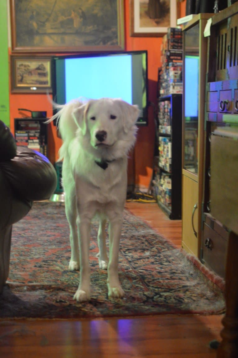 Photo of casper, a Great Pyrenees, Labrador Retriever, American Pit Bull Terrier, and Boxer mix