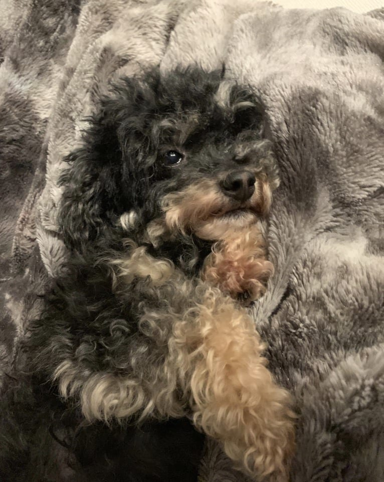 Photo of Millie, a Poodle (Small)  in Lillington, NC, USA