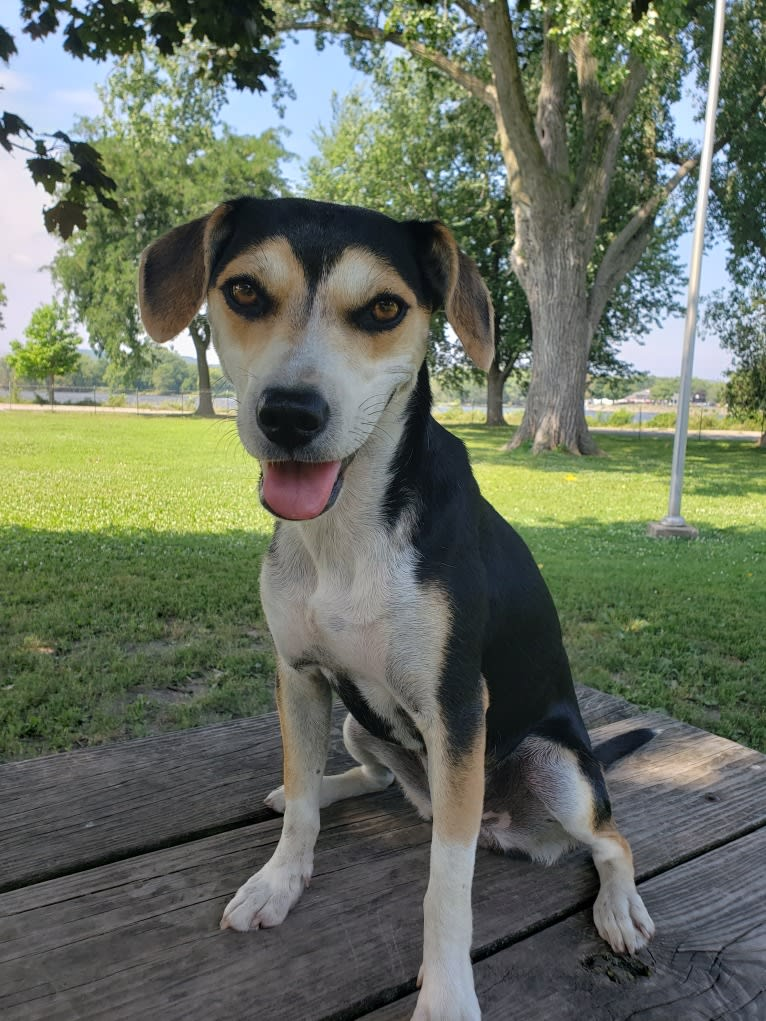 Photo of Maddie, a Beagle, Siberian Husky, American Pit Bull Terrier, and Rat Terrier mix in Mississippi, USA